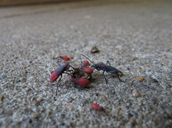 Red-shouldered bugs on crushed seed