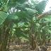 Tentang produk kerepek pisang