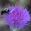 Thistle Bloom w/ Carpenter Bee