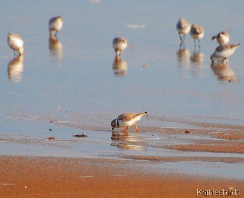 Piping plover and sanderlings Reid State park 4-11-14-kab