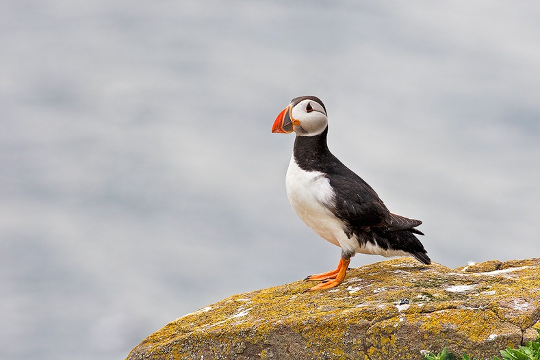 Farne Islands Puffins