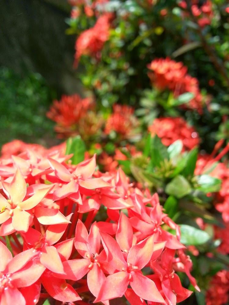 Bunga Ixora