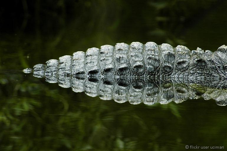 alligator by flickr user ucumari 2