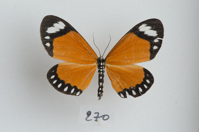 Geometridae : Oenochrominae : Cartaletis libyssa (HOPFFER, 1857). Ebogo (Cameroun), avril 2013. Coll. et photo : C. Basset