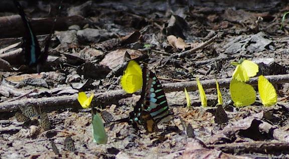 À gauche : Papilio bromius DOUBLEDAY, 1845. Au centre : Graphium policenes CRAMER, 1775. Et Eurema senegalensis BOISDUVAL, [1836], Acraea et autres papillons. Berges de la Soo (affluent du fleuve Nyong), Ebogo (Cameroun), 8 avril 2012. Photo : J.-M. Gayman
