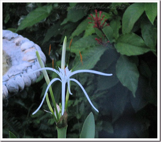07-23-spider-lily