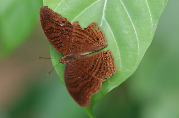Junonia stygia AURIVILLIUS, 1894. Ebogo (Cameroun), 9 avril 2012. Photo : J.-M. Gayman