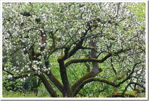 120506_old-apple-tree