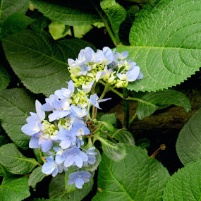 blue... by Nisha B. - Flowers Flowers in the Wild ( hill flowers, india, inflorescence, flowers, sikkim,  )