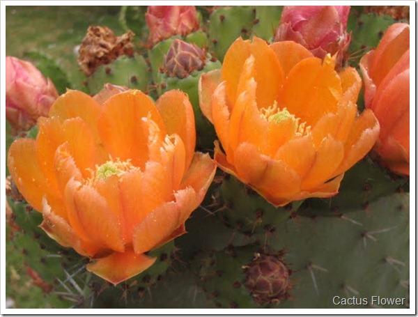 Cactus Salad | Flor del Nopal