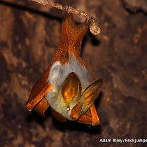 Bats of Africa