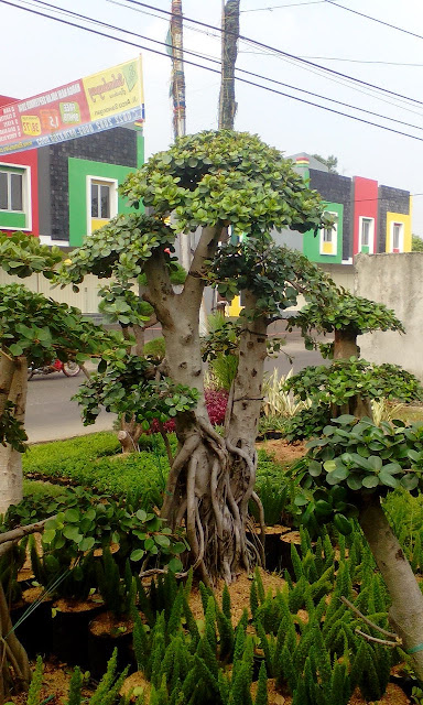 Tukang taman menjual pohon bonsai beringin dolar murah