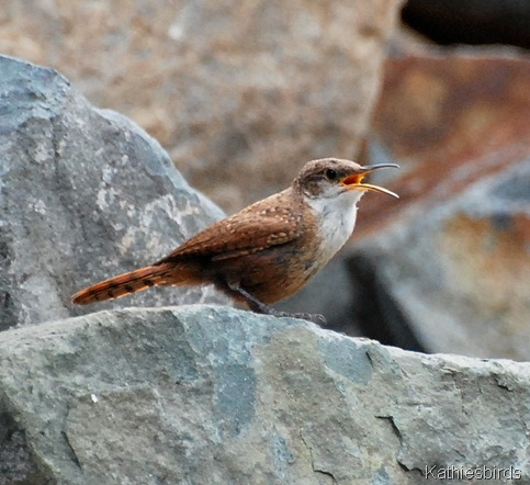 9. singing wren-kab