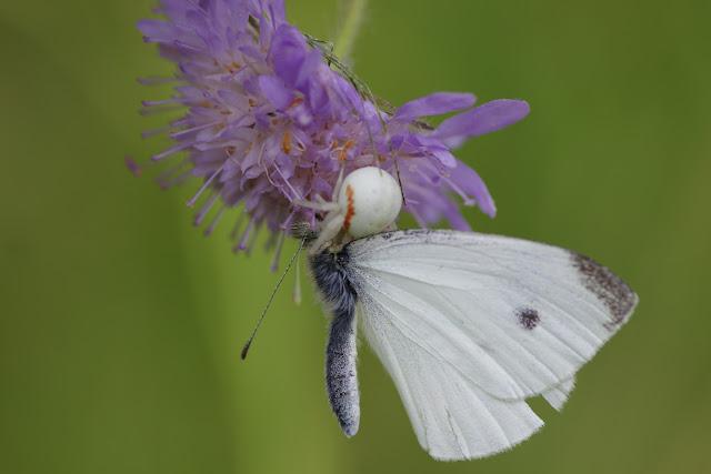 Capture de Pieris rapae (mâle) par Misumena vatia (CLERCK, 1757). Hautes-Lisières (Rouvres, 28), 7 juillet 2012. Photo : J.-M. Gayman