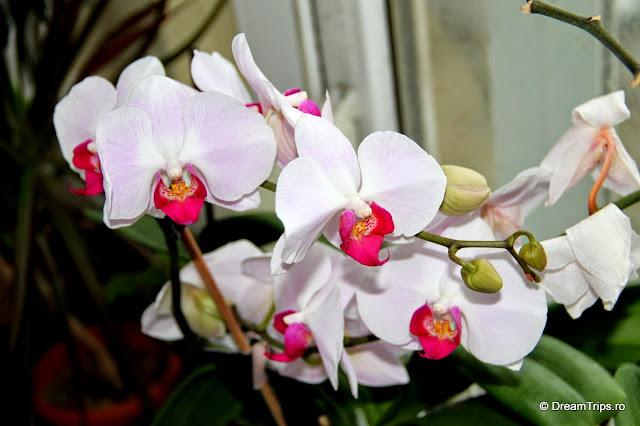 Orhidee 2084.JPG