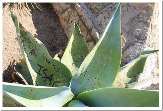 130402_StaBarbaraMission_Agave-guiengola2