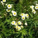 Fleabane daisy
