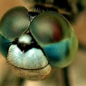 Head of a Dragon Fly