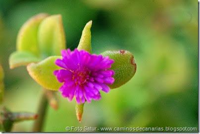 7929 Circular Montaña Guía(Aptenia cordifolia-Rocío)