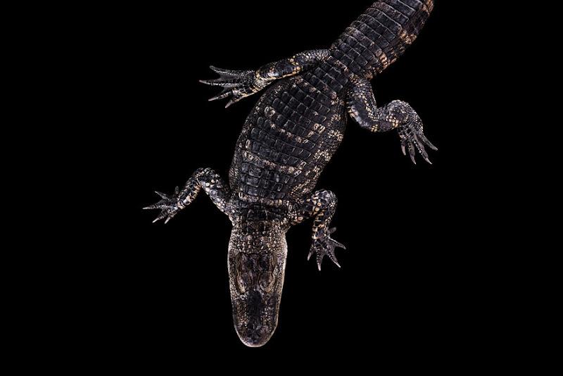 animal-photography-affinity-Brad-Wilson-alligator-2.jpeg