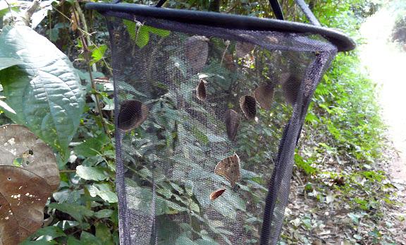 Piège. Bobiri Forest (Ghana), 16 décembre 2009. Photo : J. F. Christensen