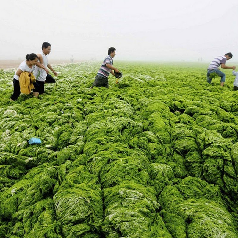 Chinese Beaches Once Again Hit by Invading Algae