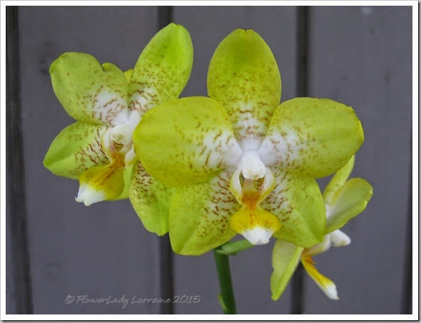 02-08-sunflower-phalaenopsis2