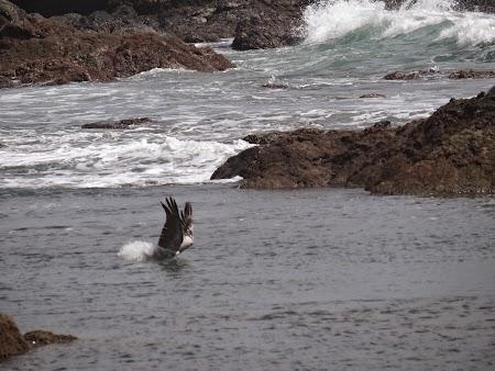 38. Pelican la pescuit.JPG