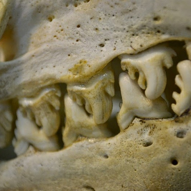 Devilish Teeth of the Crabeater Seals