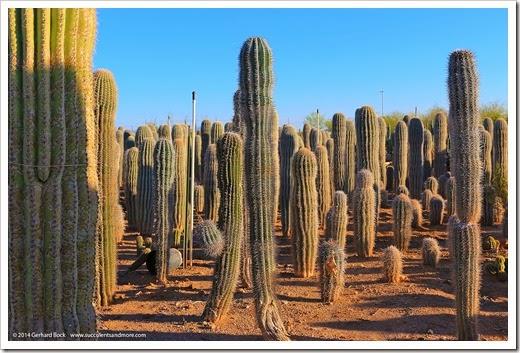 Old West Cactus Farm Phoenix Az December 2013