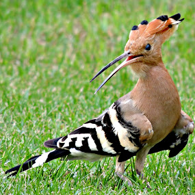 Hoopoe 53 by Tamsin Carlisle - Animals Birds ( lawn, cinnamon, grass, white, bars, hoopoe, bird, upupa epops, dubai, pink, crest, garden, black,  )