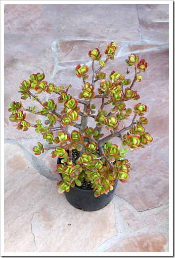 120129_Crassula-ovata-Hummels-Sunset_02