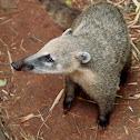 Coatí (Ring-tailed coati)