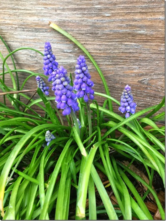 d2841b205 Newest installment of the Nature Notebook is Grape Hyacinth. This sweet  little flower is a volunteer ALL OVER MY YARD! They grow wild and happy  here.