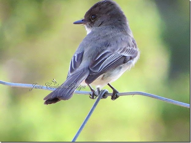 Eastern_Phoebe_Profile