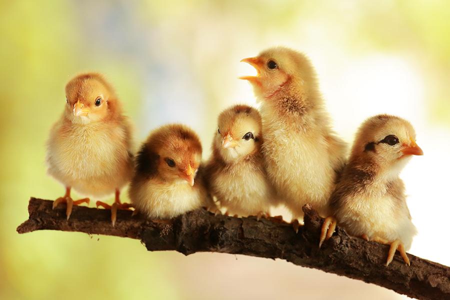 Group portrait of cute chicks by Prachit Punyapor - Animals Birds ( newborns chicks, lovely animals, animals, group of cute, nice backgrounds, group of chicks, beautiful animals, nice animals, cute animals, cute chicks, adorable animal, adorable chicks, amazing chicks, family, cutes, group, chicks )