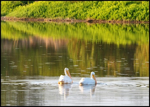 08e - Eco Pond - White Pelicans