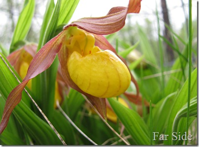 Yello Lady Slipper May 19