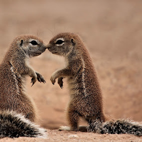I Love you!! by Adéle van Schalkwyk - Animals Other Mammals ( love, kiss, isolated, ground squirrel, young, mammal, animal,  )