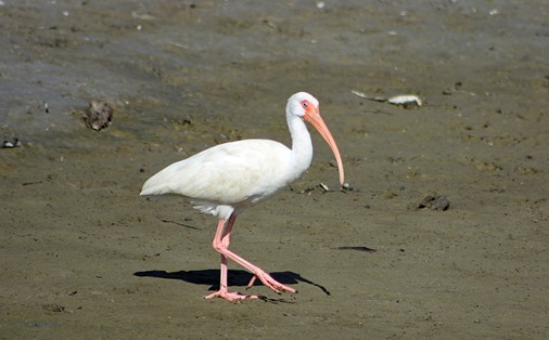 South Padre White Ibis3