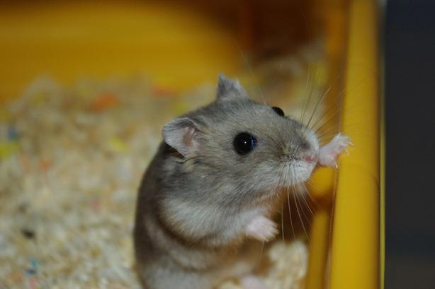 raton A