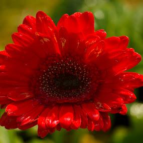 Flower by Palak Patel - Flowers Single Flower ( orange, single, nature, color, flower )
