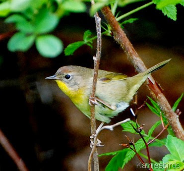 7. common yellowthroat-kab
