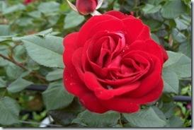 rose Coluche