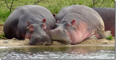 Hippos along Kazinga Channel, Queen Elizabeth National Park
