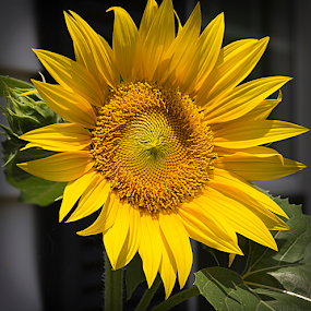 Summer Sunflower by Susan Farris - Flowers Single Flower ( plant, summer, sunflower, bloom, yellow, garden, , Hope )
