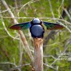 Tropical Carpenter Bee