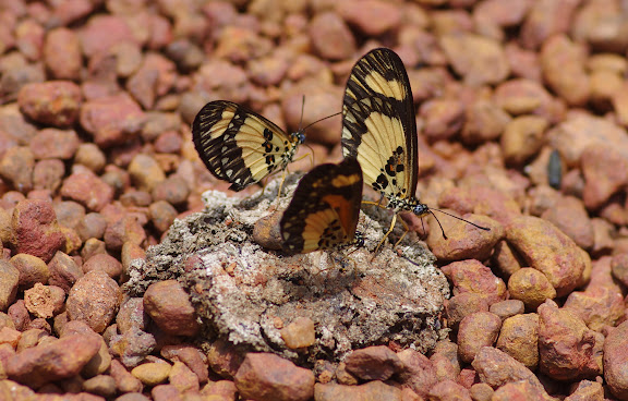 Acraea bonasia bonasia FABRICIUS, 1775, mâles et femelle (premier plan). Piste d'Ebogo, Cameroun, 8 avril 2012. Photo : J.-M. Gayman