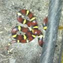 Scarlet Kingsnake