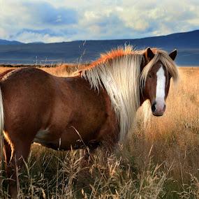 Tarsann by Anna Guðmundsdóttir - Animals Horses ( icelandic horse, hestur, tarsann, íslenskur hestur, hores,  )